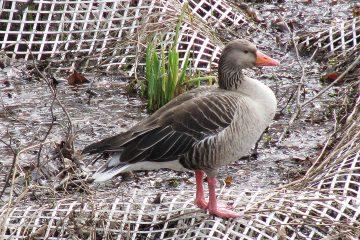 Eine Ente an Land auf einem Bodengitter.