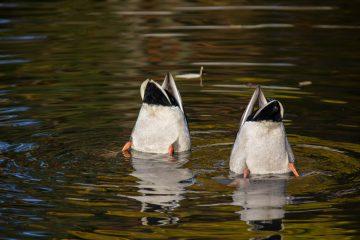 Zwei Enten die nach Futter im Wasser suchen.
