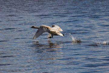 Ein Schwan der auf dem Wasser zum Fliegen ansetzt.