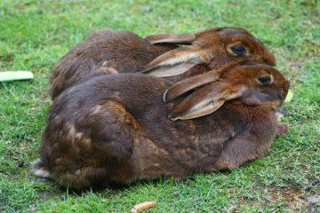 Zwei Kaninchen ruhen sich nebeneinander aus.