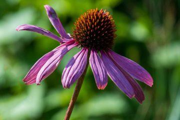 Brigitte - Dahliengarten 12.09.2020 - Blütenblattakrobatik