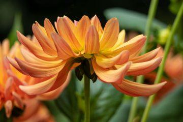 Bodo Jarren - Dahliengarten 12.09.2020 - Schönheit in Orange
