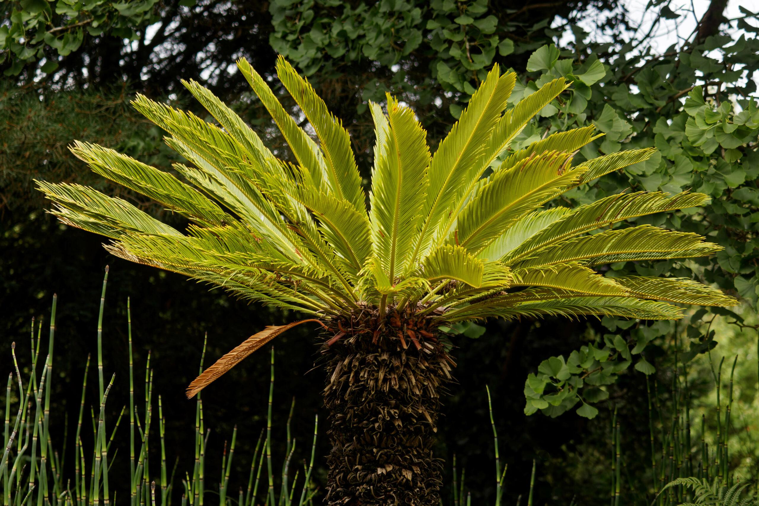 Bodo Jarren- Arboretum Ellerhoop 03.08.2021 - Palme im Norde