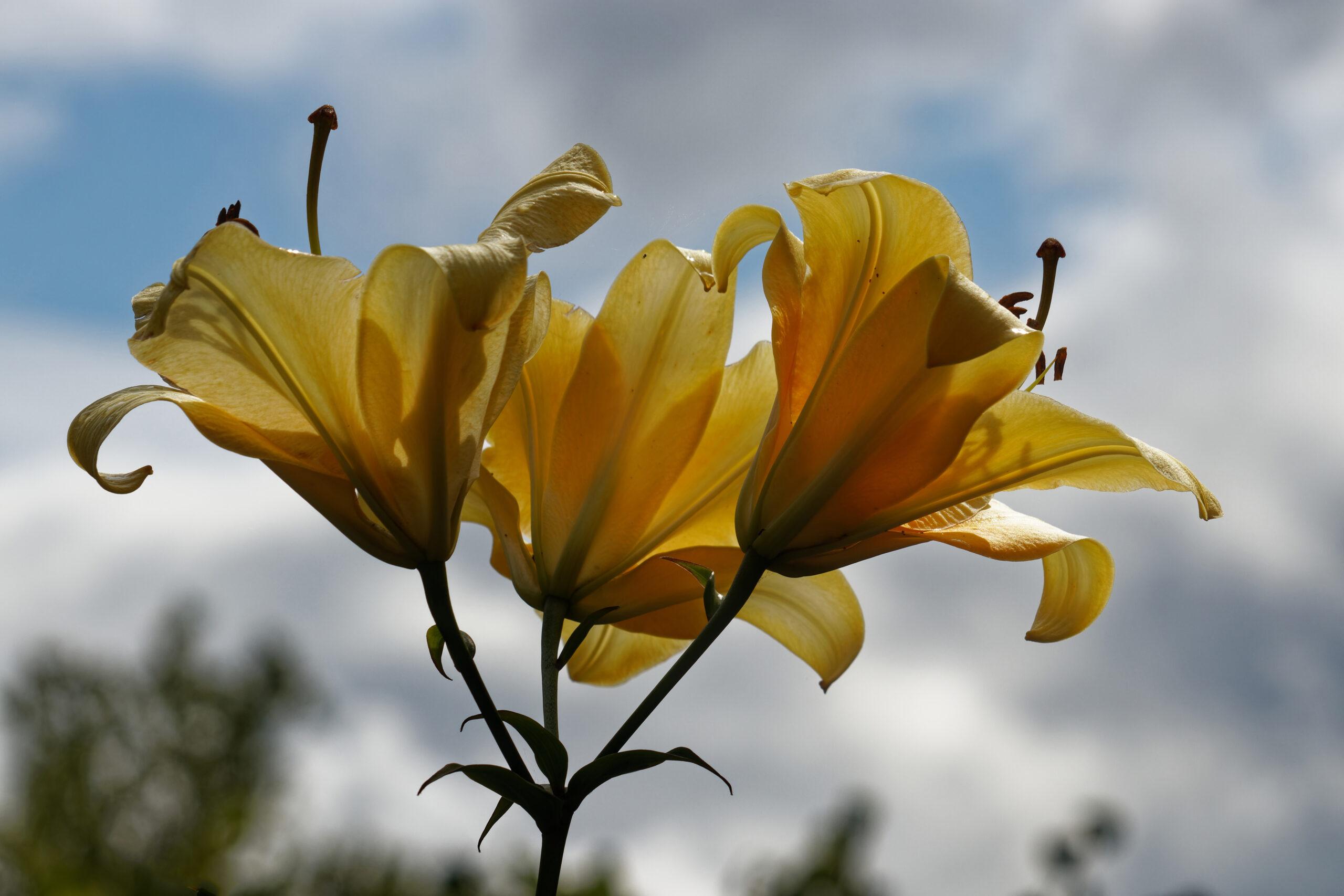 Bodo Jarren- Arboretum Ellerhoop 03.08.2021 - Lilien wollen hoch hinaus