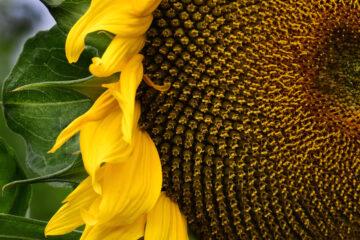 Brigitte - Arboretum Ellerhoop 03.08.2021 - Sonnenblume