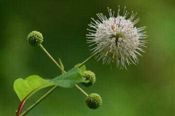 Brigitte - Arboretum Ellerhoop 03.08.2021 - Coronavariante