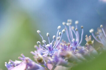 Susanne Wahl - Arboretum Ellerhoop 03.08.2021 - Blaues Wunder