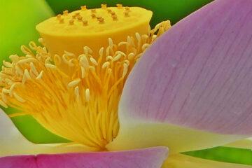 Susanne Wahl - Arboretum Ellerhoop 03.08.2021 - Indische Lotuspflanze