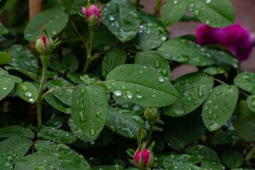 Hans Stötera - Arboretum Ellerhoop 03.08.2021 - Nach dem Regen