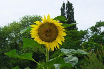 Harald Jablonsky- Arboretum Ellerhoop 03.08.2021 - Sonnenblume