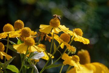 Bodo Jarren - Hudtwalckerstraße 07.09.2021 - Biene auf Gelb