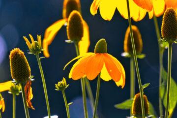 Harald Jablonsky - Hudtwalckerstraße 07.09.2021 - Blumen in der Sonne