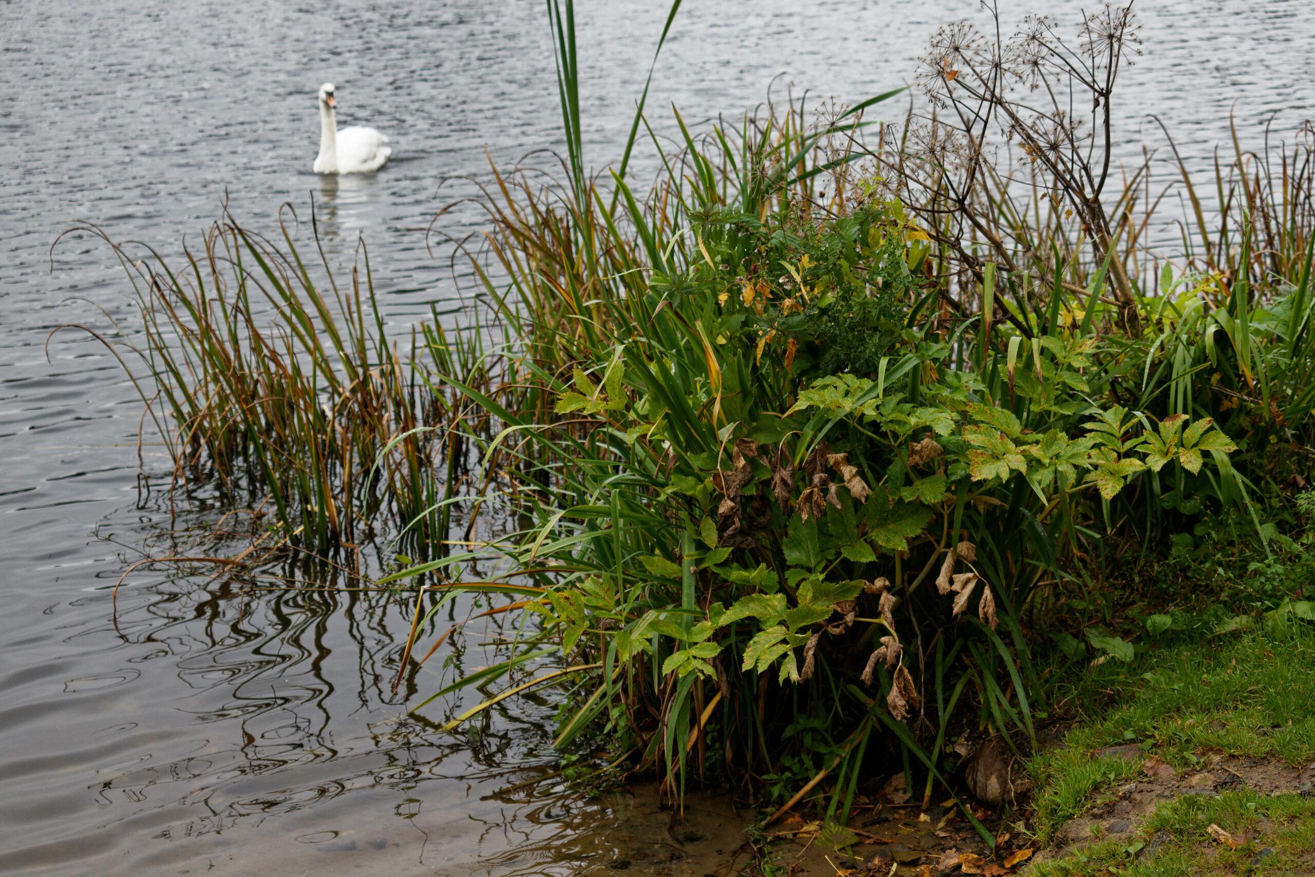 Bodo Jarren - Stadtpark 05.10.2021 - Kommt ein Schwan geschwommen