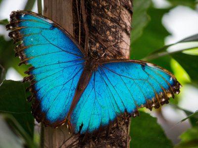 Ein blauer Morphofalter im Schmetterlings Garten.