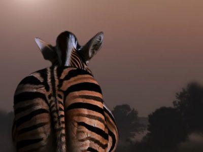 Wolfgang R. - Challenge 26: 17.05 - 30.05.2021 - Sunset Zebra