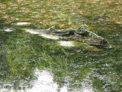 Patricia Pikul - Challenge 32: 09.08 - 22.08.2021 - Das Krokodil aus Bramfeld (Sommerversion)